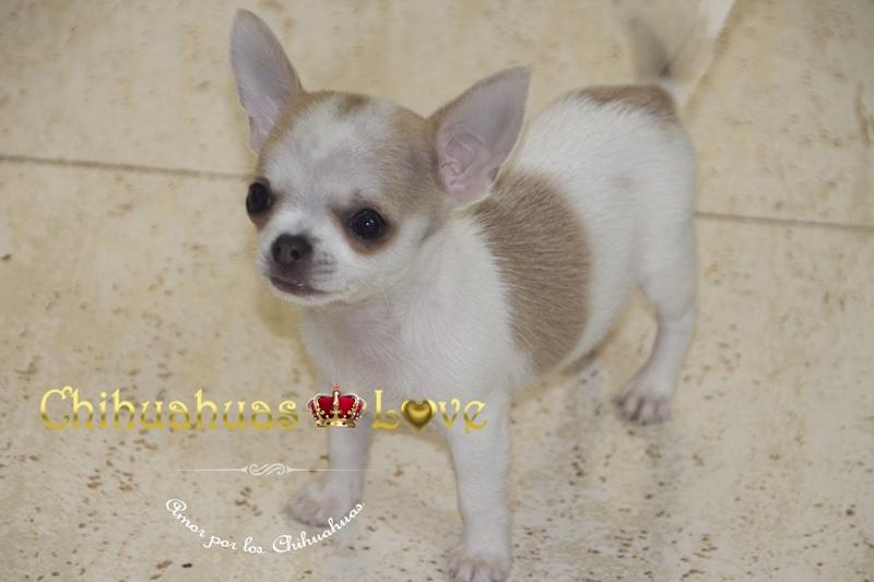 admirar cualidades perros chihuahua