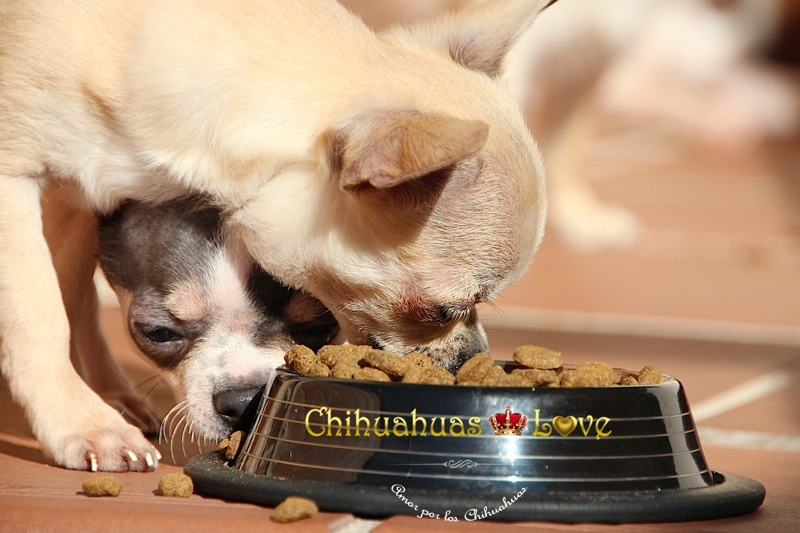 alimentacion cachorros chihuahua