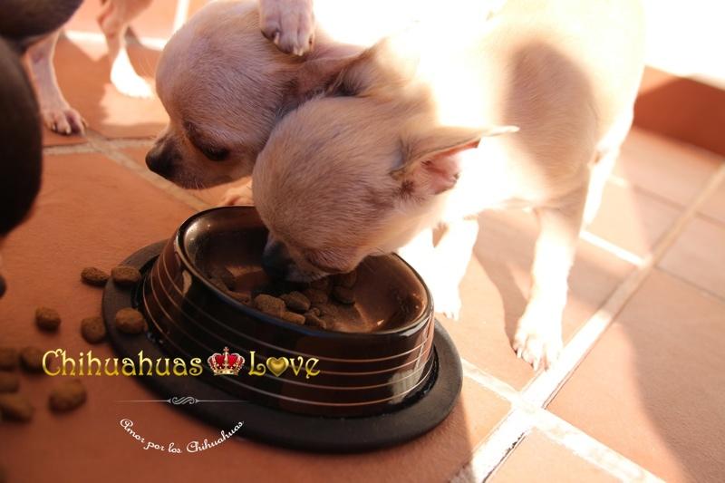alimentacion cachorros chihuahua pienso