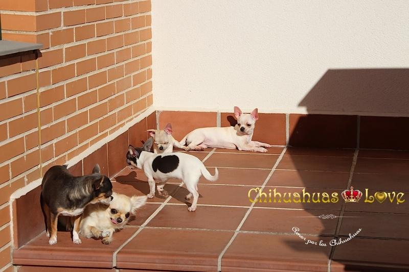 baño de sol chihuahuas