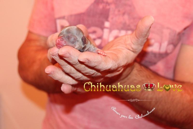 chihuahua cabe en las manos