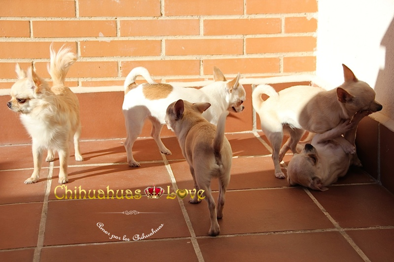 chihuahuas en hogar