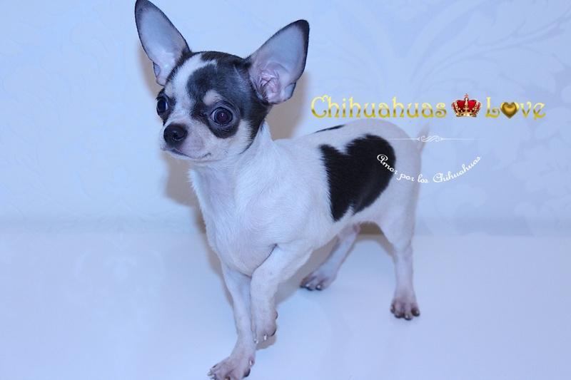 comprar perro chihuahua