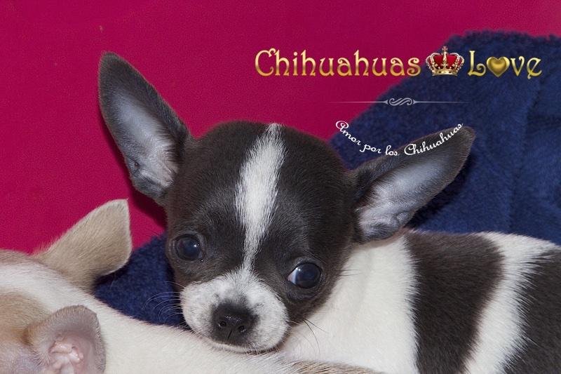 comprar chihuahua opinion clientes