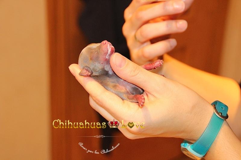 cria chihuahua