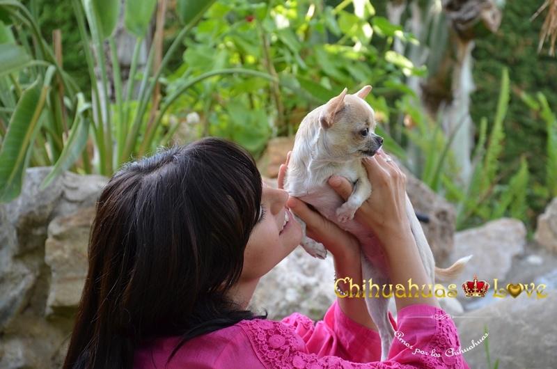 cria de chihuahuas