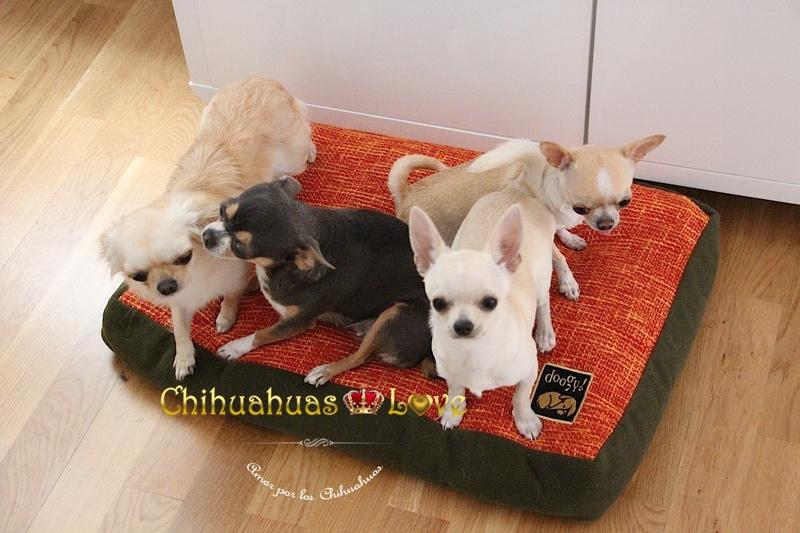 descanso cachorros chihuahua