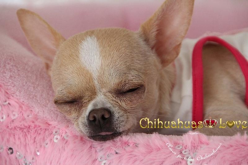 dormir perros chihuahua