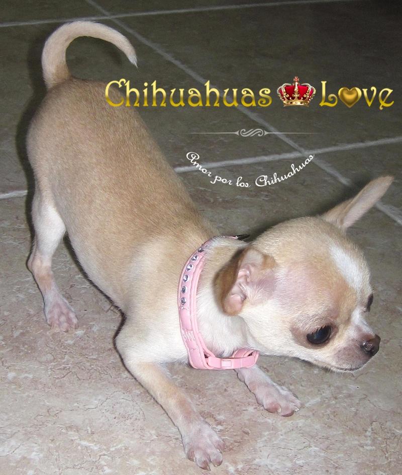 edad de un cachorro chihuahua