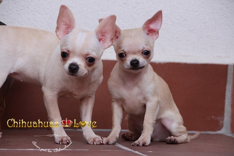felicidad perros chihuahua