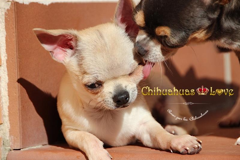 hembras chihuahua