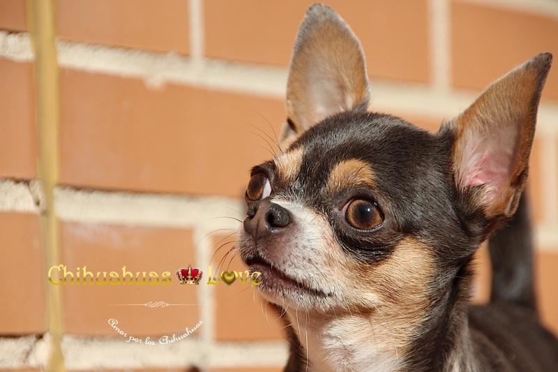 ladra perro chihuahua