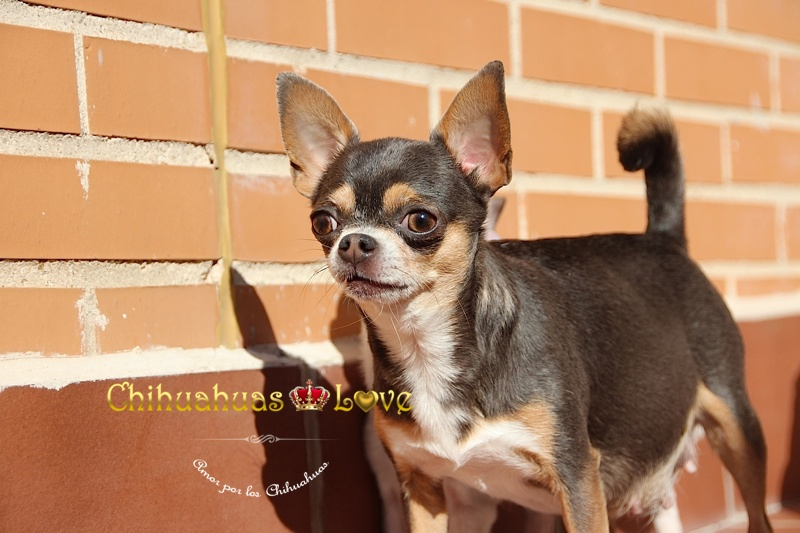 ladrar perros chihuahua