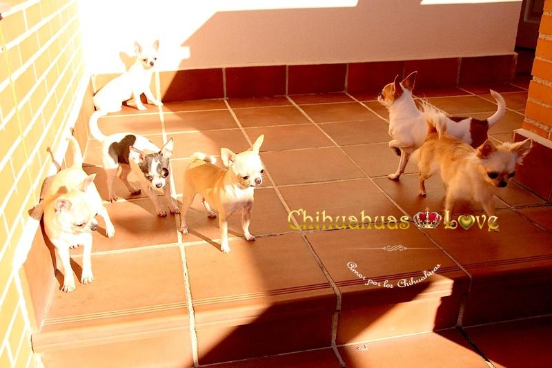 manada de chihuahuas