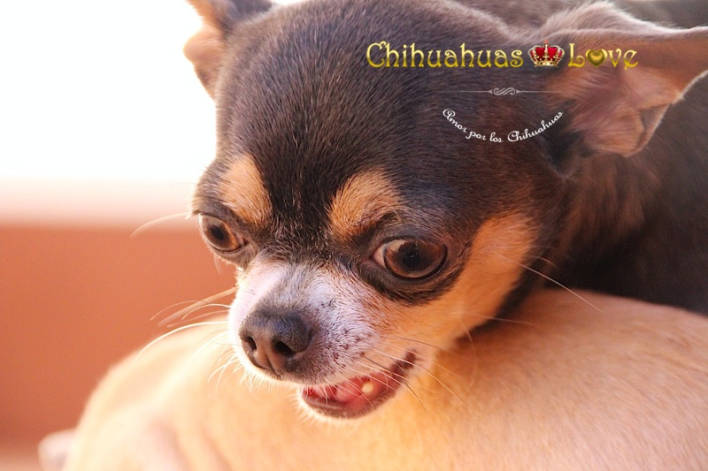 miedo ladrar chihuahua