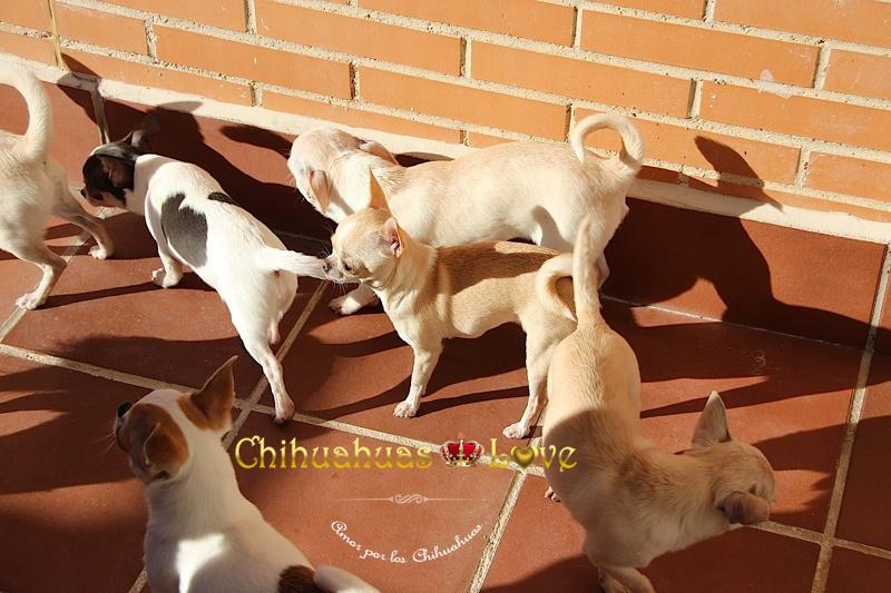perros chihuahua en casa