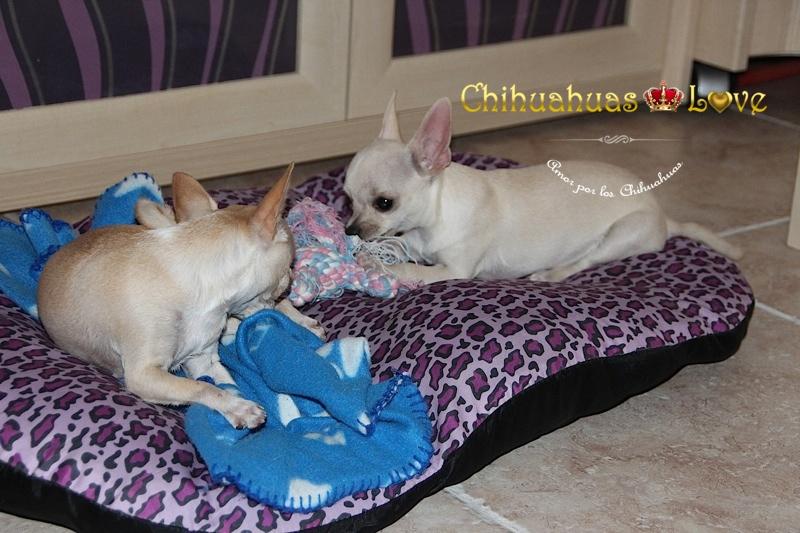 perros chihuahuas en el hogar