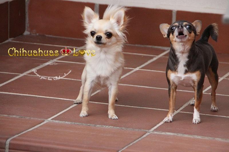 perros chihuahua ladrando