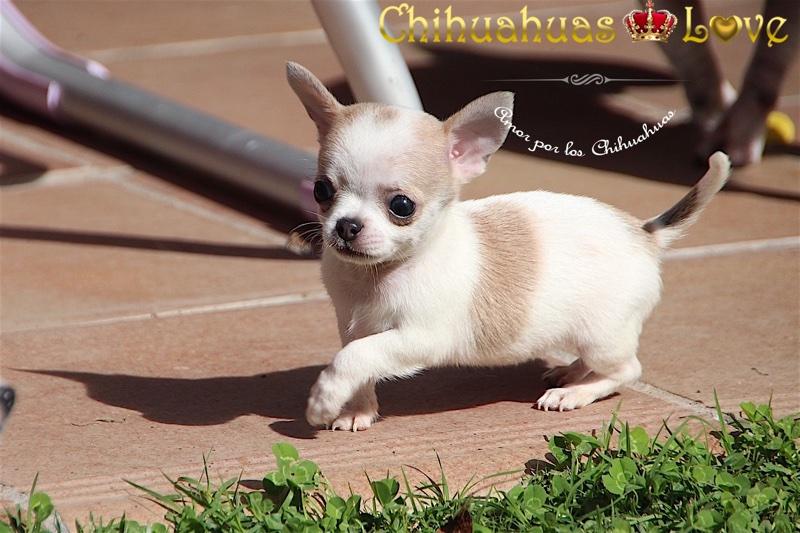 proposito tener chihuahua