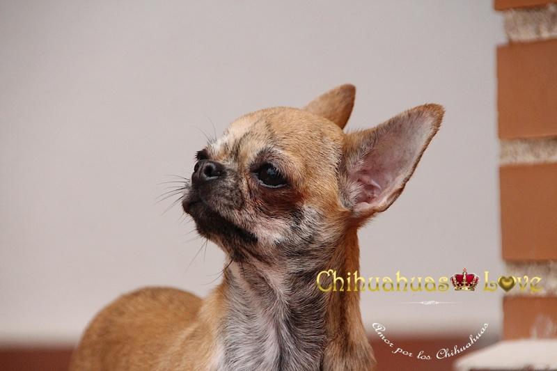 razones para comprar chihuahua