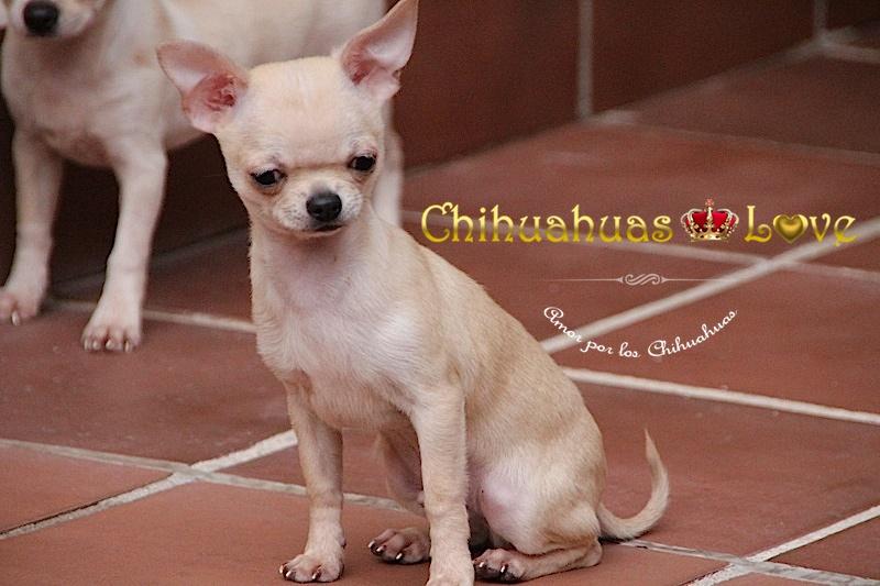 tamaño cachorros chihuahua