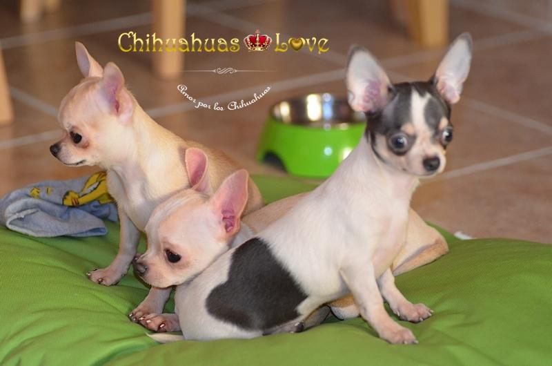 ventajas perros chihuahua