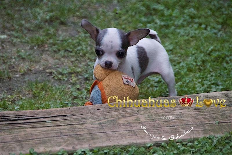 adiestrar chihuahuas