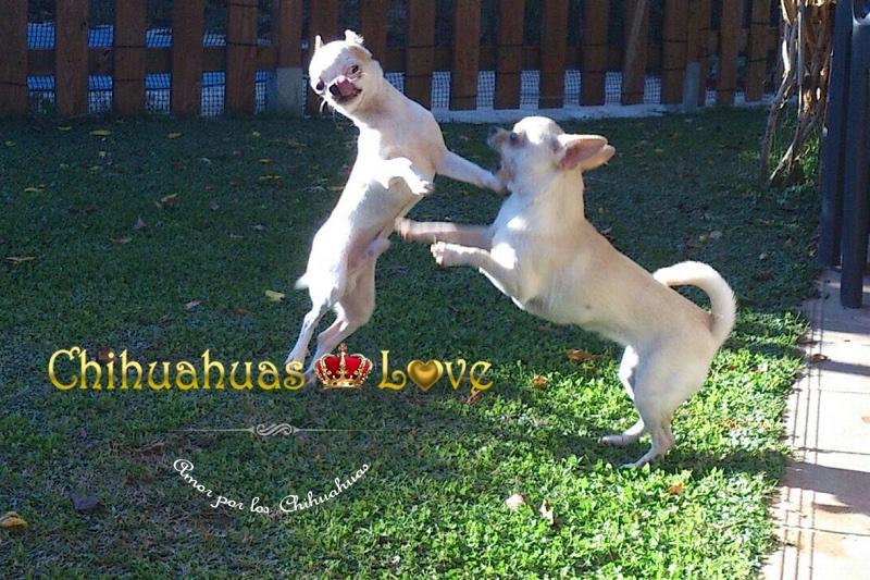 adultos y cachorros chihuahua jugando