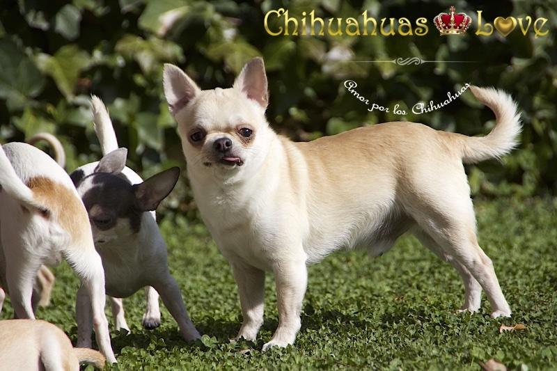 amar y cuidar chihuahuas