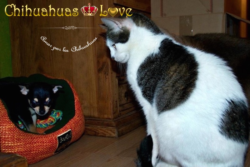 amigos chihuahuas y gatos