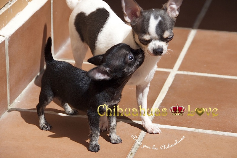 amor de chihuahuas