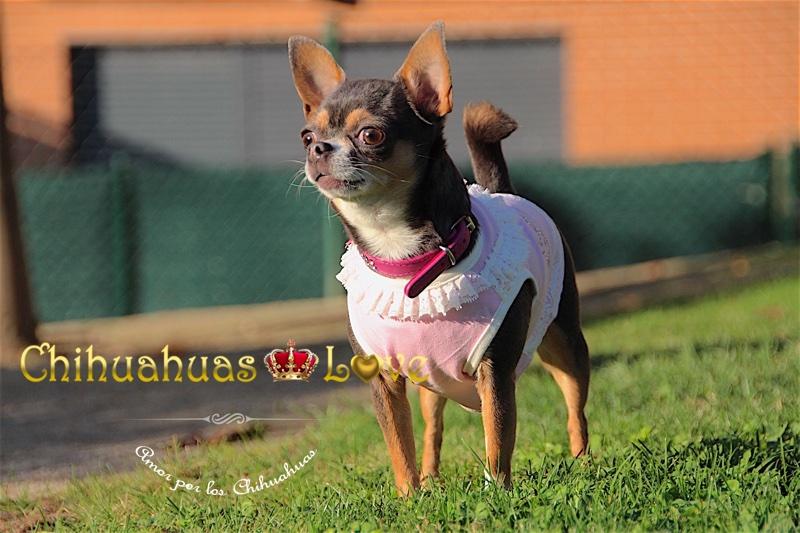 amor perros raza chihuahua