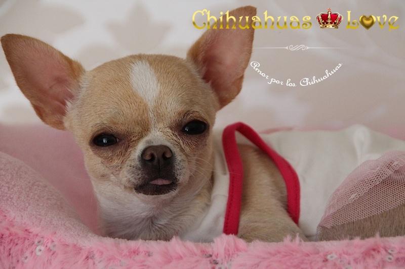 amor por chihuahuas