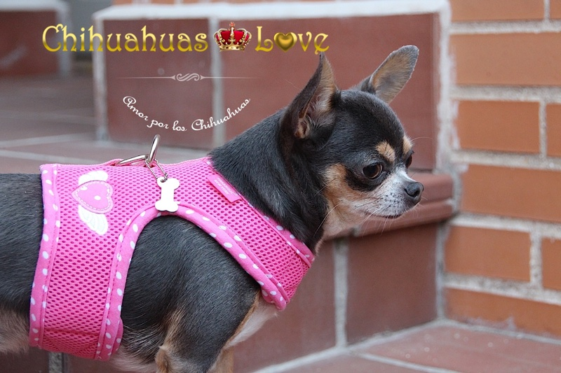 blog de chihuahuas publicar
