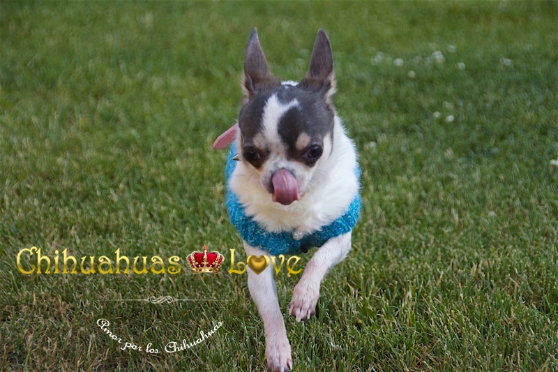 blog raza chihuahua