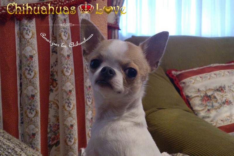 blog chihuahuas google