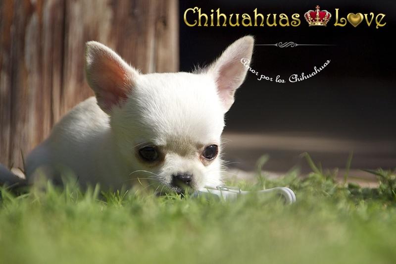 cachorro chihuahuas