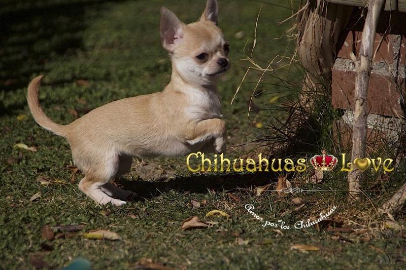 chihuahuas al sol invierno