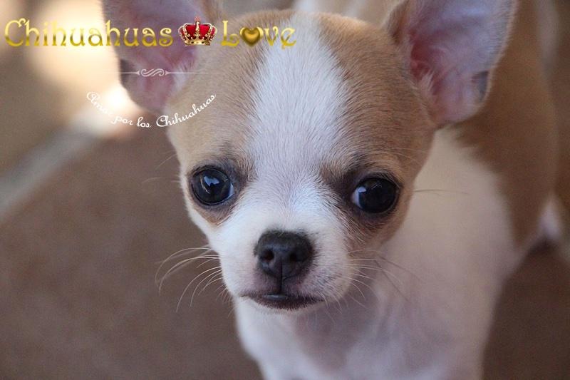 cachorro chihuahua en veterinario