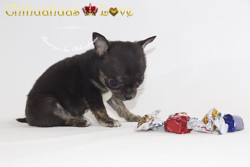 cachorros chihuahua navidad