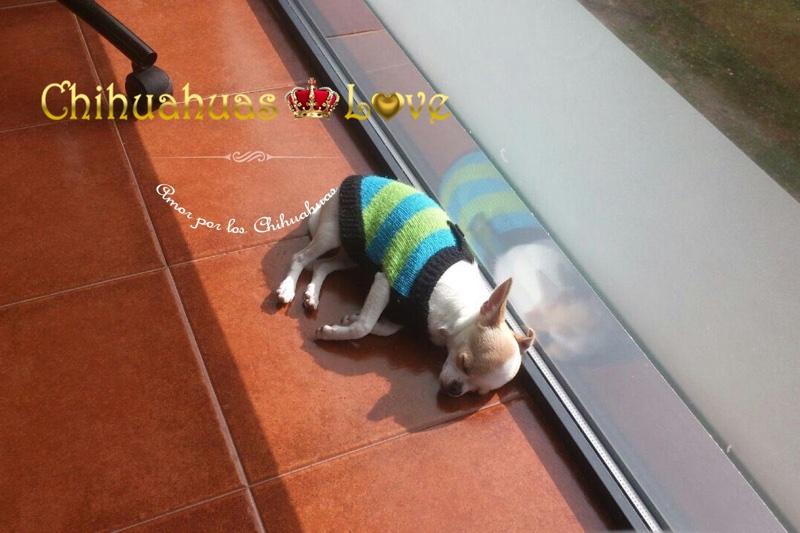 cachorro chihuahua y sol