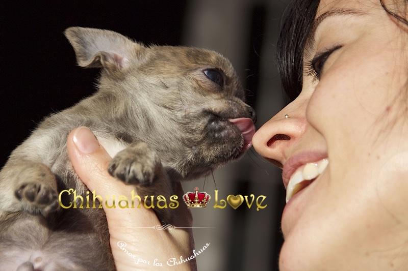 cachorros chihuahua amorosos