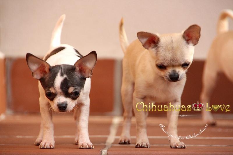 cachorros chihuahua estresados