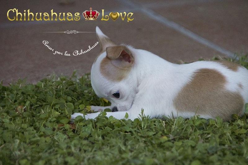 cachorros chihuahua evolucion