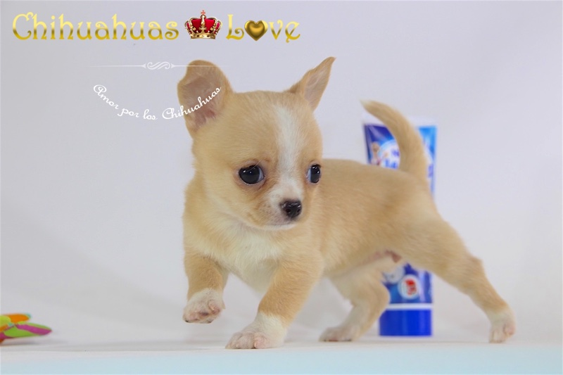 perros chihuahua hembras