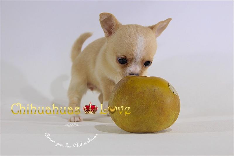 hembra chihuahua en venta
