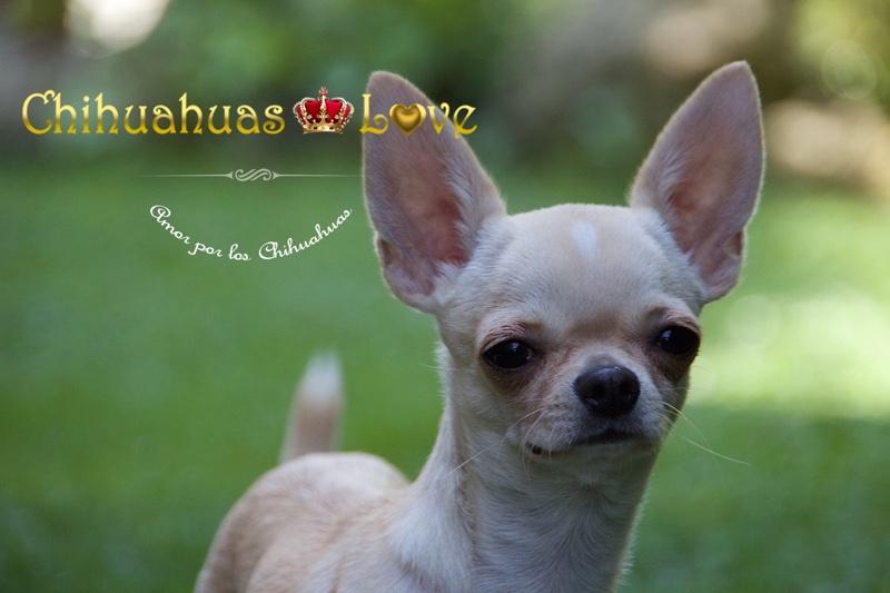 chihuahuas madrid clientes
