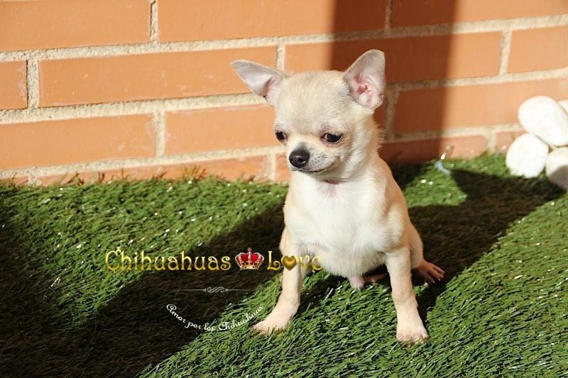 chihuahua barcelona