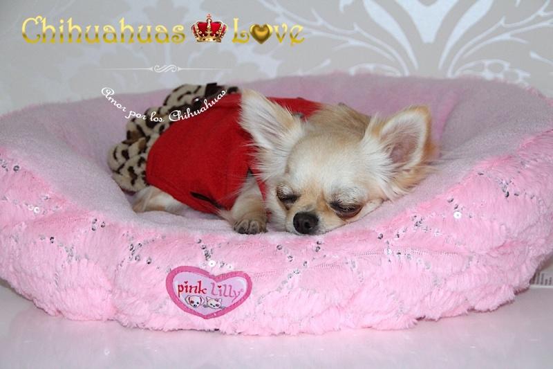 chihuahua durmiedo