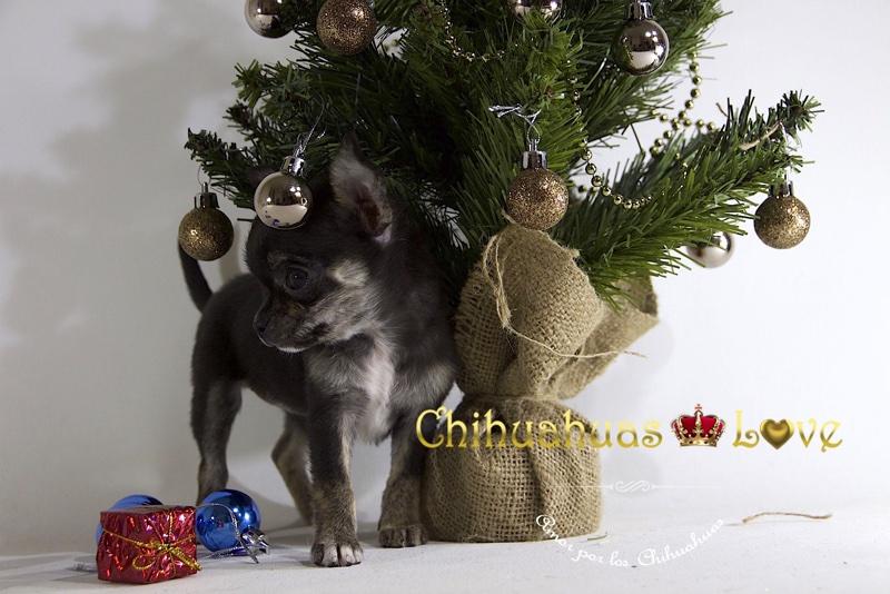 chihuahua miniatura hembra